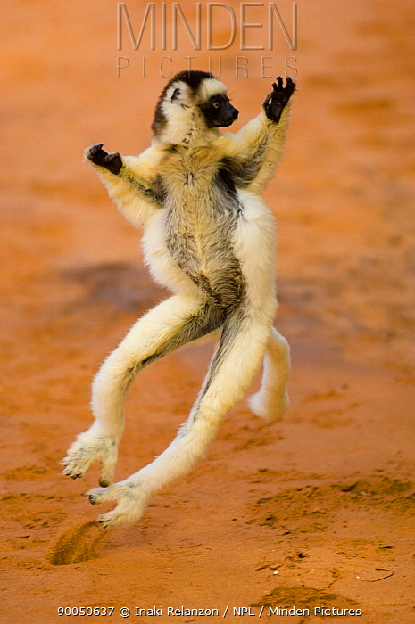Verreaux's Sifaka (Propithecus verreauxi) 'dancing', Berenty private reserve, south Madagascar  -  Inaki Relanzon/ npl