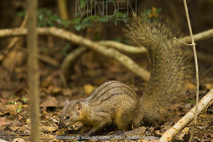 Narrow striped mongoose (Mungotictis decemlineata) Kirindy Forest, Near Morondava, West Madagascar  -  Inaki Relanzon/ npl