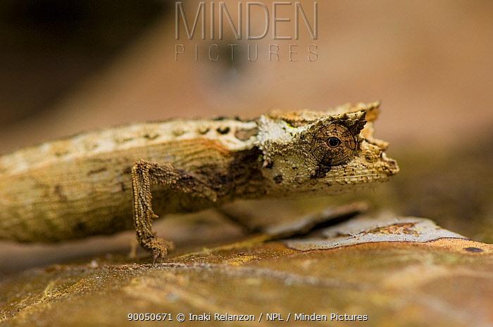 Ground chameleon (Brookesia sp) Madagascar  -  Inaki Relanzon/ npl