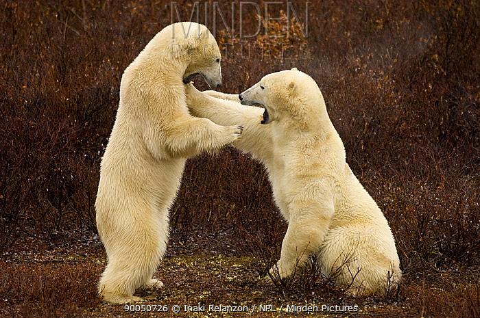Polar Bear (Ursus maritimus) pair play fighting, Churchill, Hudson Bay, Canada  -  Inaki Relanzon/ npl
