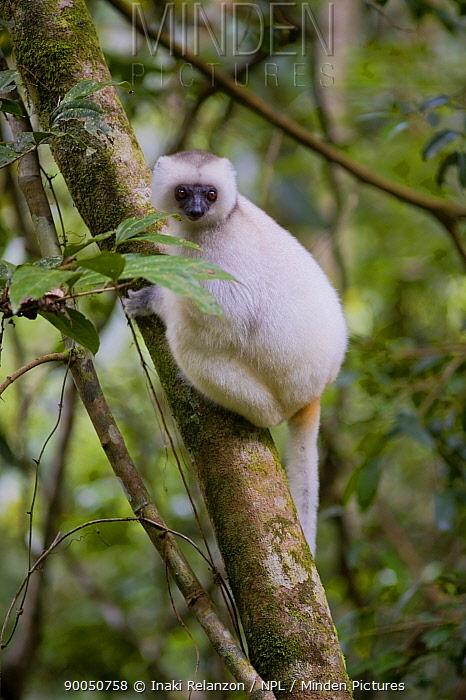 Silky Sifaka Lemur (Propithecus diadema candidus) one of the most endangered primates in the world, Marojejy National Park, Sambava, Madagascar  -  Inaki Relanzon/ npl