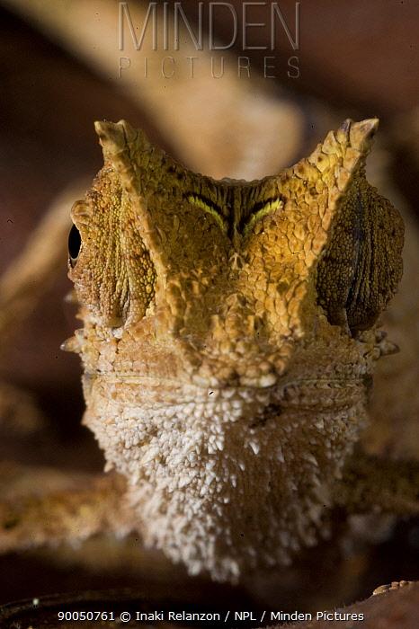 Small chameleon (Brookesia sp) Marojejy National Park, Sambava, North east Madagascar  -  Inaki Relanzon/ npl