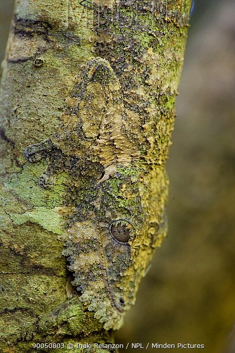 Henkel's Leaf-tailed Gecko (Uroplatus henkeli) camouflaged on tree trunk, Ankarana Special Reserve, North Madagascar  -  Inaki Relanzon/ npl
