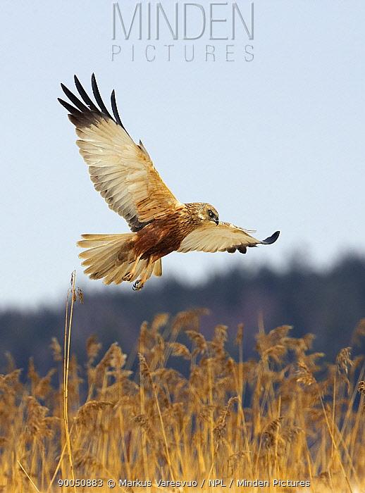Western Marsh-Harrier (Circus aeruginosus) in flight over reeds, Porvoo, Finland  -  Markus Varesvuo/ npl