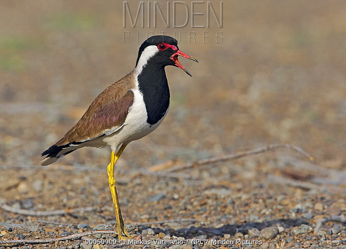 Red-wattled Lapwing (Vanellus indicus) perched on ground, calling, Oman  -  Markus Varesvuo/ npl
