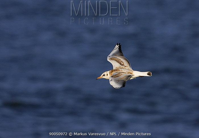 Black-headed Gull (Larus ridibundus) immature gull in flight, Finland  -  Markus Varesvuo/ npl