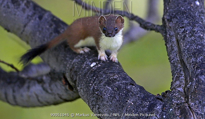 Short-tailed Weasel (Mustela erminea) in tree, Norway  -  Markus Varesvuo/ npl