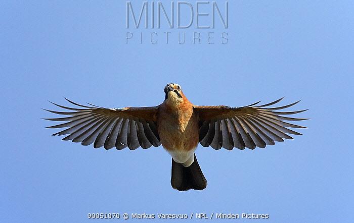 Eurasian Jay (Garrulus glandarius) in flight, Hanko, Finland  -  Markus Varesvuo/ npl