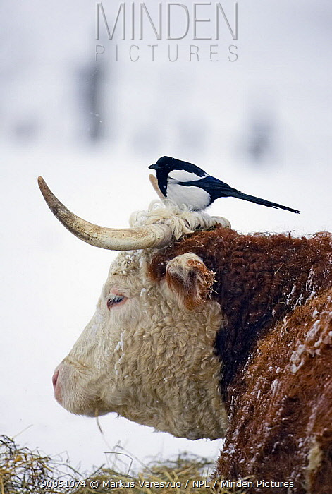 Black-billed Magpie (Pica pica) perched on cow's head, Helsinki, Finland  -  Markus Varesvuo/ npl