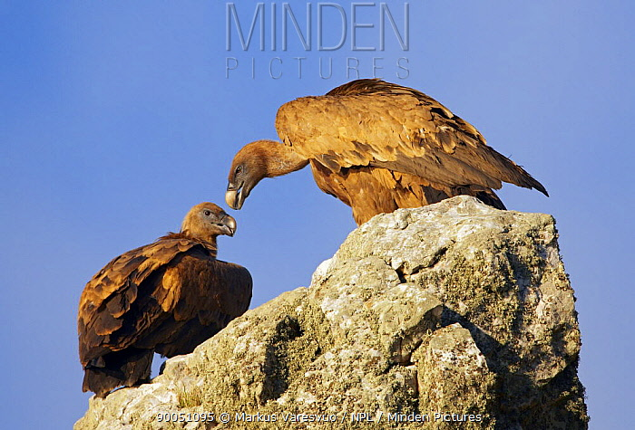 Griffon Vulture (Gyps fulvus) two perched on rock, Spain  -  Markus Varesvuo/ npl