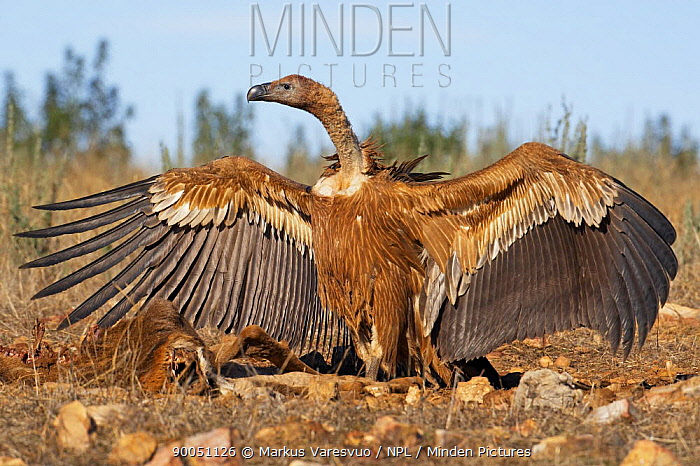 Griffon Vulture (Gyps fulvus) with wings spread, Spain  -  Markus Varesvuo/ npl