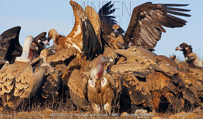Griffon Vulture (Gyps fulvus) flock squabbling on ground over carcass, Spain  -  Markus Varesvuo/ npl