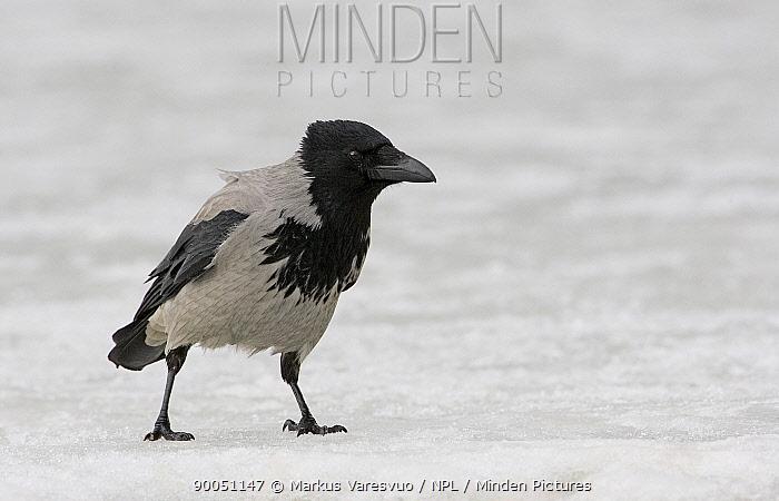 Hooded Crow (Corvus corone cornix) on snow, Finland  -  Markus Varesvuo/ npl