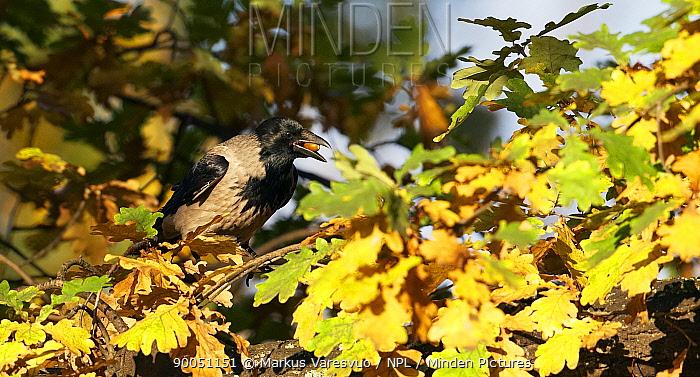 Hooded Crow (Corvus corone cornix) feeding on acorns in Oak tree, Helsinki, Finland  -  Markus Varesvuo/ npl