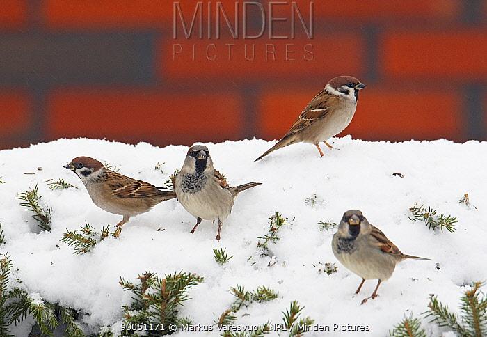 House Sparrow (Passer domesticus) and two Tree sparrows (Passer montanus) on snow, Liminka, Finland  -  Markus Varesvuo/ npl