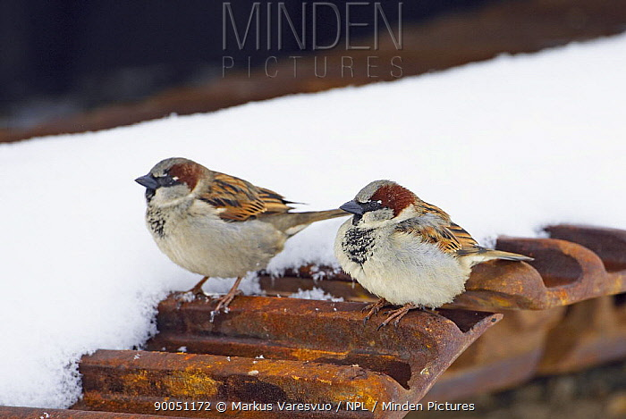 House Sparrow (Passer domesticus) two males on roof, Finland  -  Markus Varesvuo/ npl