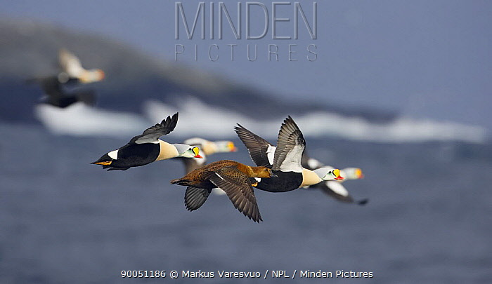 King Eider (Somateria spectabilis) males and a female in flight over water, Norway, Digitally manipulated, One bird removed  -  Markus Varesvuo/ npl