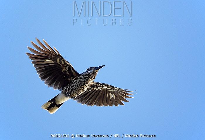 Spotted Nutcracker (Nucifraga caryocatactes) in flight, Finland  -  Markus Varesvuo/ npl