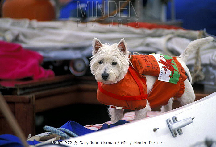 West Highland Terrier (Canis familiaris) wearing a life-jacket on a yacht, with the Welsh flag attached to his back 1996  -  Gary John Norman/ npl