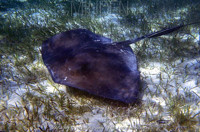 Southern Stingray (Dasyatis americana) on the seafloor amongst sea grass, Bahamas  -  Nicolas Popov/ npl