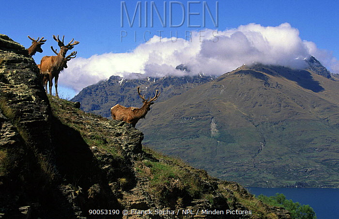 Red deer (Cervus elaphus) on hilltop at Deer Park Heights, a location for scenes in the Lord of the Rings films Near Queenstown, New Zealand  -  Franck Socha/ npl