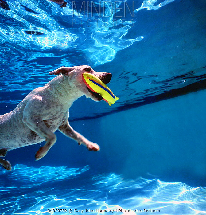 Dog (Canis familiaris) swimming to the surface after retrieving its toy from swimming pool  -  Gary John Norman/ npl