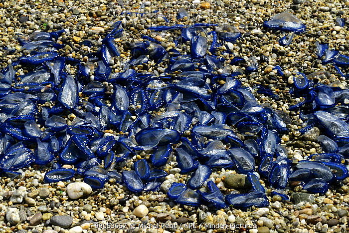 By-the-wind Sailor (Velella velella) washed up on a pebbly beach, St Aygulf, French Riviera, France  -  Michel Petit/ npl