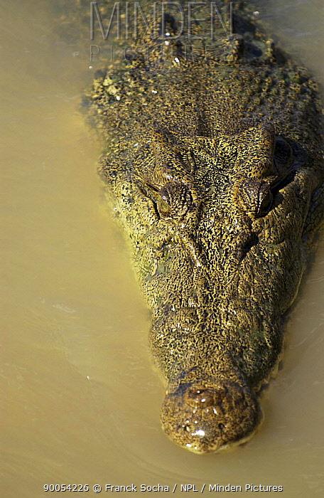 Saltwater Crocodile (Crocodylus porosus) with head at water surface, Australia  -  Franck Socha/ npl