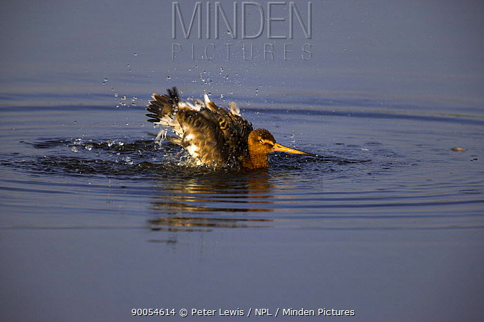 Black-tailed Godwit (Limosa limosa) bathing, Dorset  -  Peter Lewis/ npl
