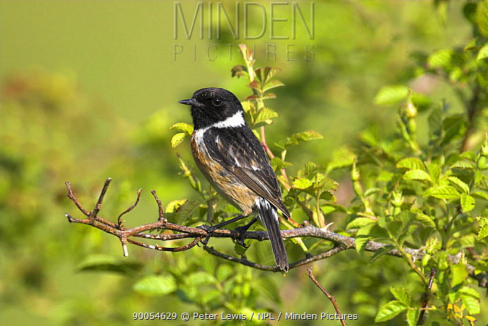 Common Stonechat (Saxicola torquata) perched on a branch, Dorset  -  Peter Lewis/ npl