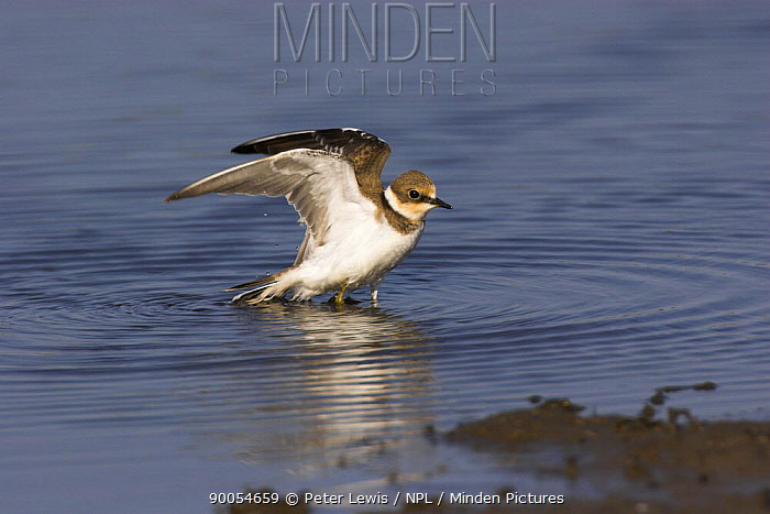 Little Ringed Plover (Charadrius dubius) stretching its wings after bathing, Dorset  -  Peter Lewis/ npl