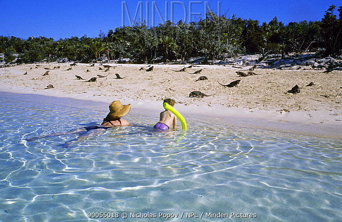 Woman and child in the shallows, watching a colony of wild rock iguanas (Cyclura sp) on the beach Allans Cay, Exuma, Bahamas December 2006  -  Nicolas Popov/ npl