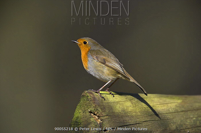 European Robin (Erithacus rubecula) perched on wood, Hampshire  -  Peter Lewis/ npl