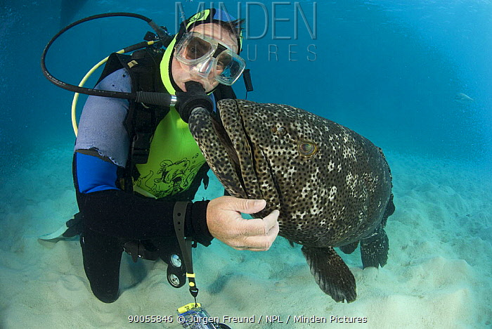 Diver with friendly Flowery cod (Epinephalus fuscoguttatus) Indo-pacific  -  Jurgen Freund/ npl