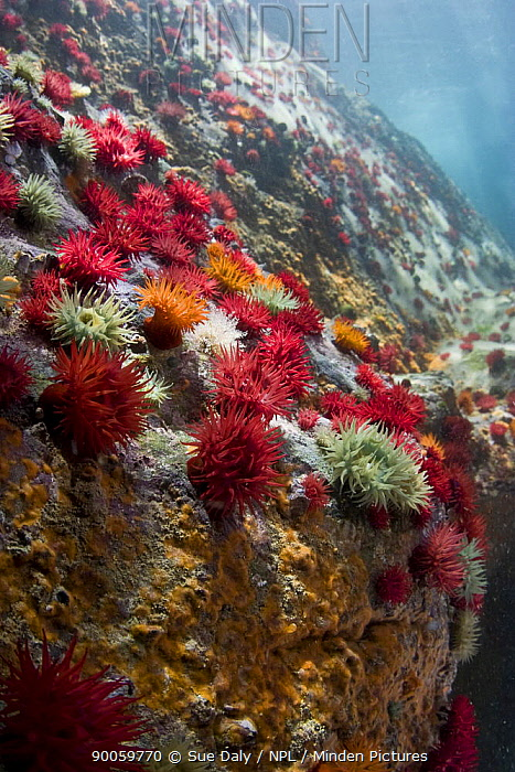 Beadlet Anemone (Actinia equina) various colour forms on rock, Gouliot Caves, Alderney, Channel Islands, United Kingdom  -  Sue Daly/ npl
