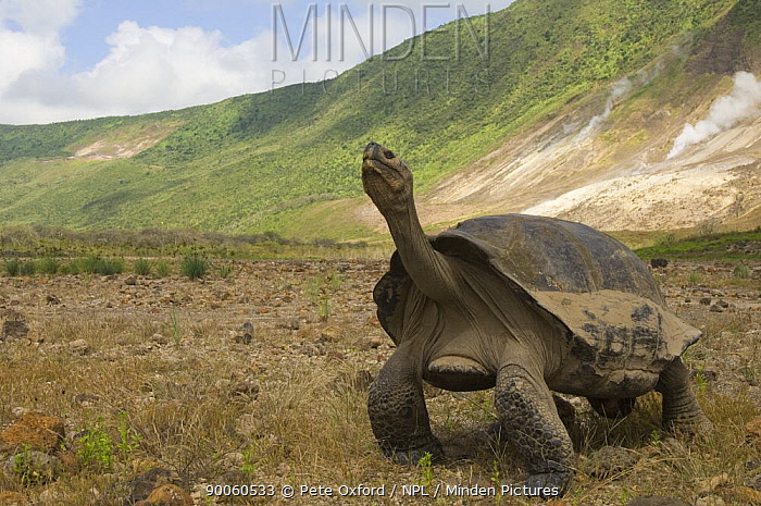 Galapagos Giant Tortoise (Geochelone elephantophus vandenburghi) stretching its neck, with steam vents in the background, Alcedo Volcano crater floor, Isabela Island, Galapagos Islands, Ecuador, South America  -  Pete Oxford/ npl