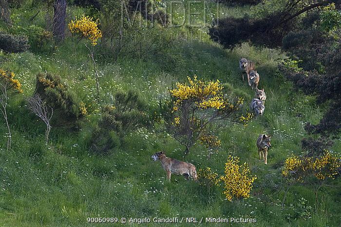 Wild European Grey wolves (Canis lupus) walking in a line, Carpathian Mountains, Eastern Europe  -  Angelo Gandolfi/ npl