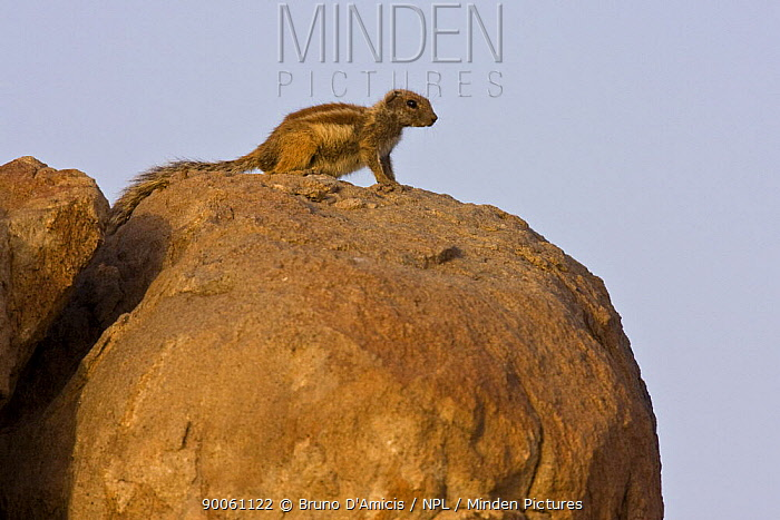 Barbary Ground Squirrel (Atlantoxerus getulus) on boulder, Draa valley, Southern Morocco  -  Bruno D'amicis/ npl