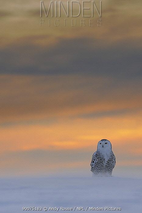 Snowy owl (Bubo scandiaca) on snow at dawn, Canada  -  Andy Rouse/ npl