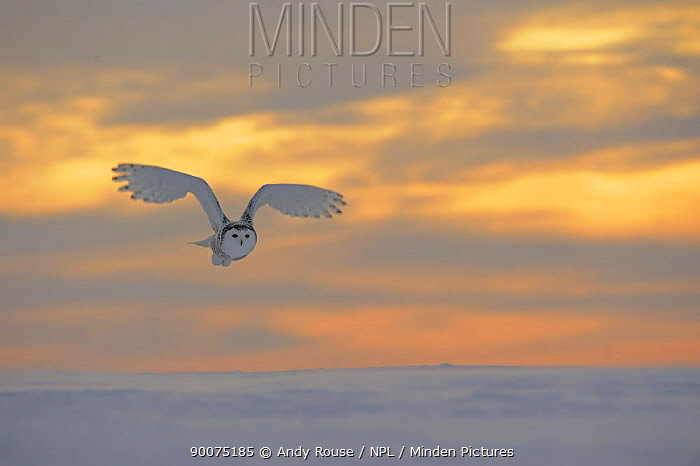Snowy owl (Bubo scandiaca) flying over snow at dawn, Canada  -  Andy Rouse/ npl