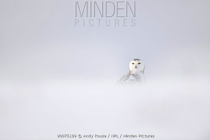 Snowy owl (Bubo scandiaca) in snow storm, Canada  -  Andy Rouse/ npl
