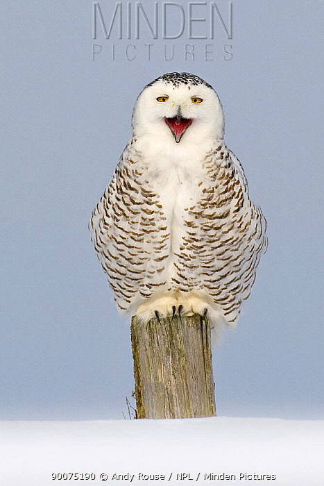 Snowy owl (Bubo scandiaca) perched on post, calling, yawning, Canada  -  Andy Rouse/ npl