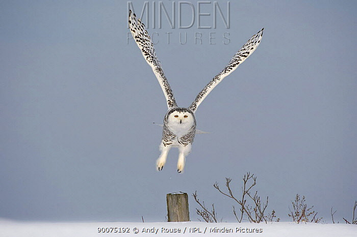 Snowy owl (Bubo scandiaca) taking off from post, Canada  -  Andy Rouse/ npl