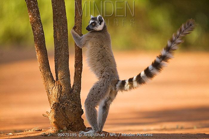 Ring-tailed Lemur (Lemur catta) male 'palmar-marking' using scent glands on the inner forearm (antebrachial organ) Berenty Private Reserve, Madagascar  -  Anup Shah/ npl
