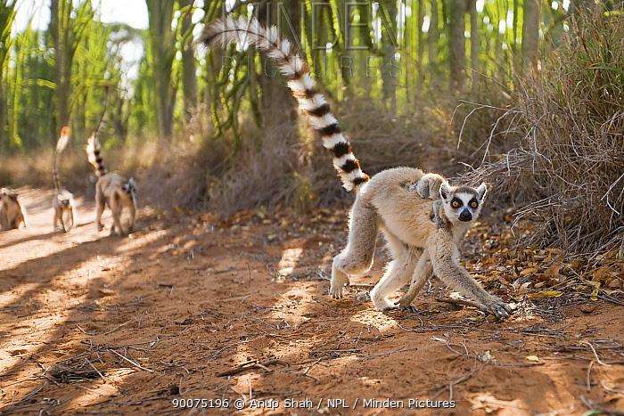 Ring-tailed Lemur (Lemur catta) female carrying baby on her back, running Berenty Private Reserve, Madagascar  -  Anup Shah/ npl