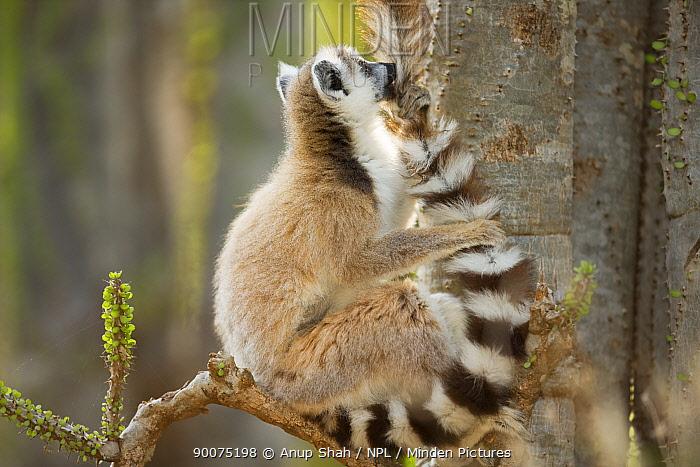 Ring-tailed Lemur (Lemur catta) grooming its tail Berenty Private Reserve, Madagascar  -  Anup Shah/ npl