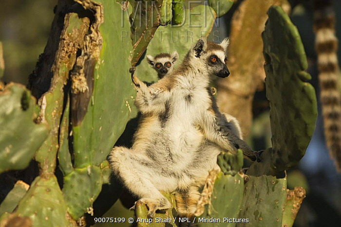 Ring-tailed Lemur (Lemur catta) mother and baby 'sunning' amongst cactus trees in the early morning light to warm themselves Berenty Private Reserve, Madagascar  -  Anup Shah/ npl