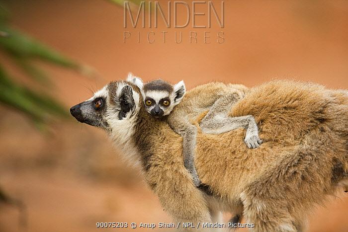 Ring-tailed Lemur (Lemur catta) female carrying infant on her back Berenty Private Reserve, Madagascar  -  Anup Shah/ npl