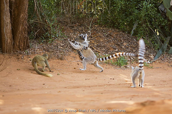 Ring-tailed Lemur (Lemur catta) female in confrontation over food with female Red-fronted Brown Lemur (Eulemur rufus) Berenty Private Reserve, Madagascar  -  Anup Shah/ npl