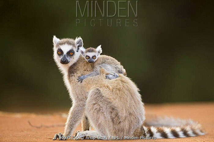 Ring-tailed Lemur (Lemur catta) female with infant less than one month old riding on back Berenty Private Reserve, Madagascar  -  Anup Shah/ npl